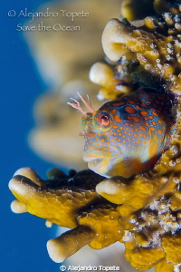 Mandarin Blenny Place,Tamiahua Mexico by Alejandro Topete 